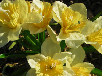 Daffodils_on_charles_st